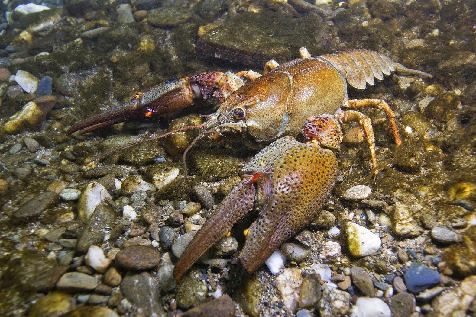 Der Europäische Flusskrebs wird auch Edelkrebs genannt