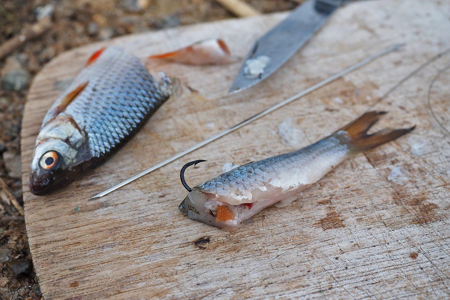 Köderfisch für Aal