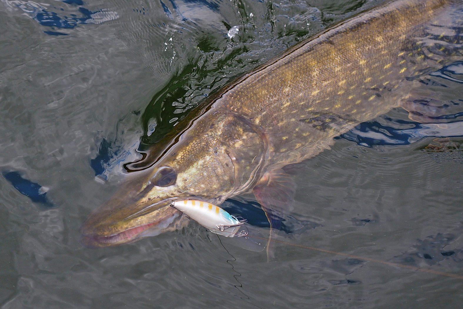 Crankbait fischen