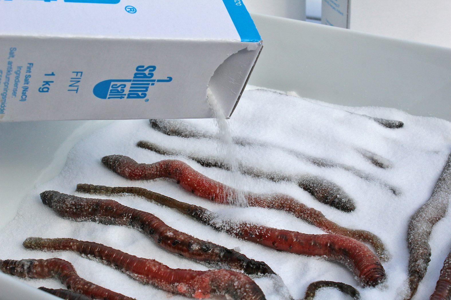 Wattwürmer einsalzen