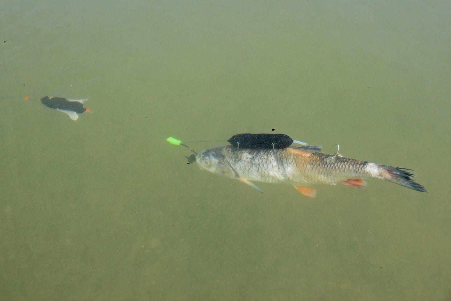 Waller-Montage toter Köderfisch