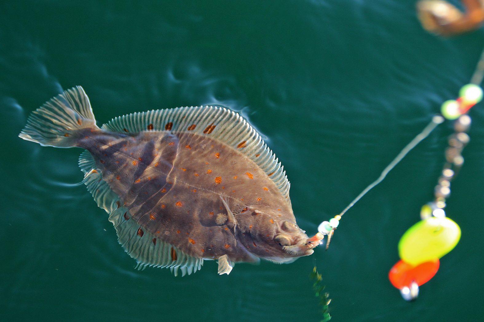 Scholle angeln in Dänemark