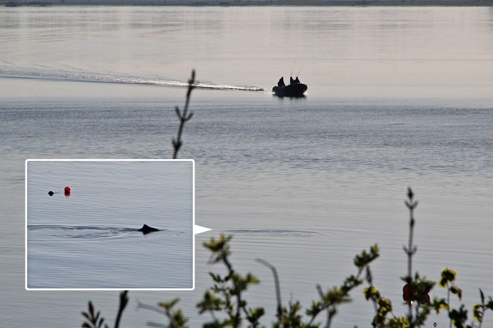 Schweinswal in der Ostsee in Dänemark