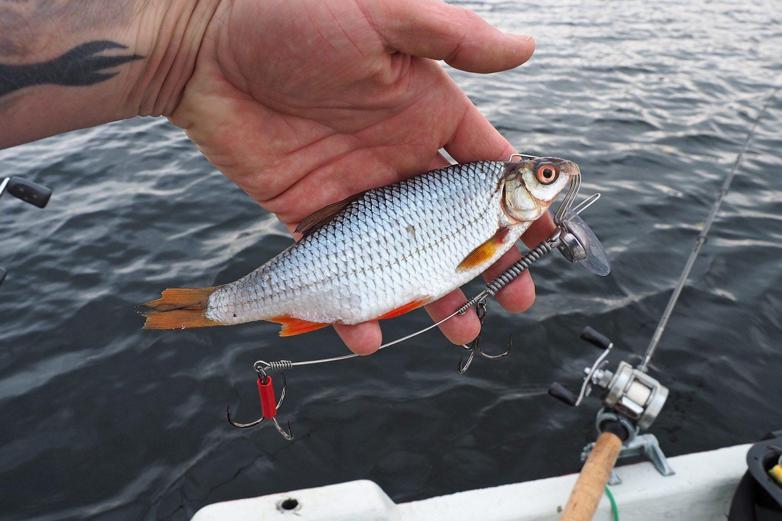 Hecht angeln mit Köderfisch am Schleppsystem