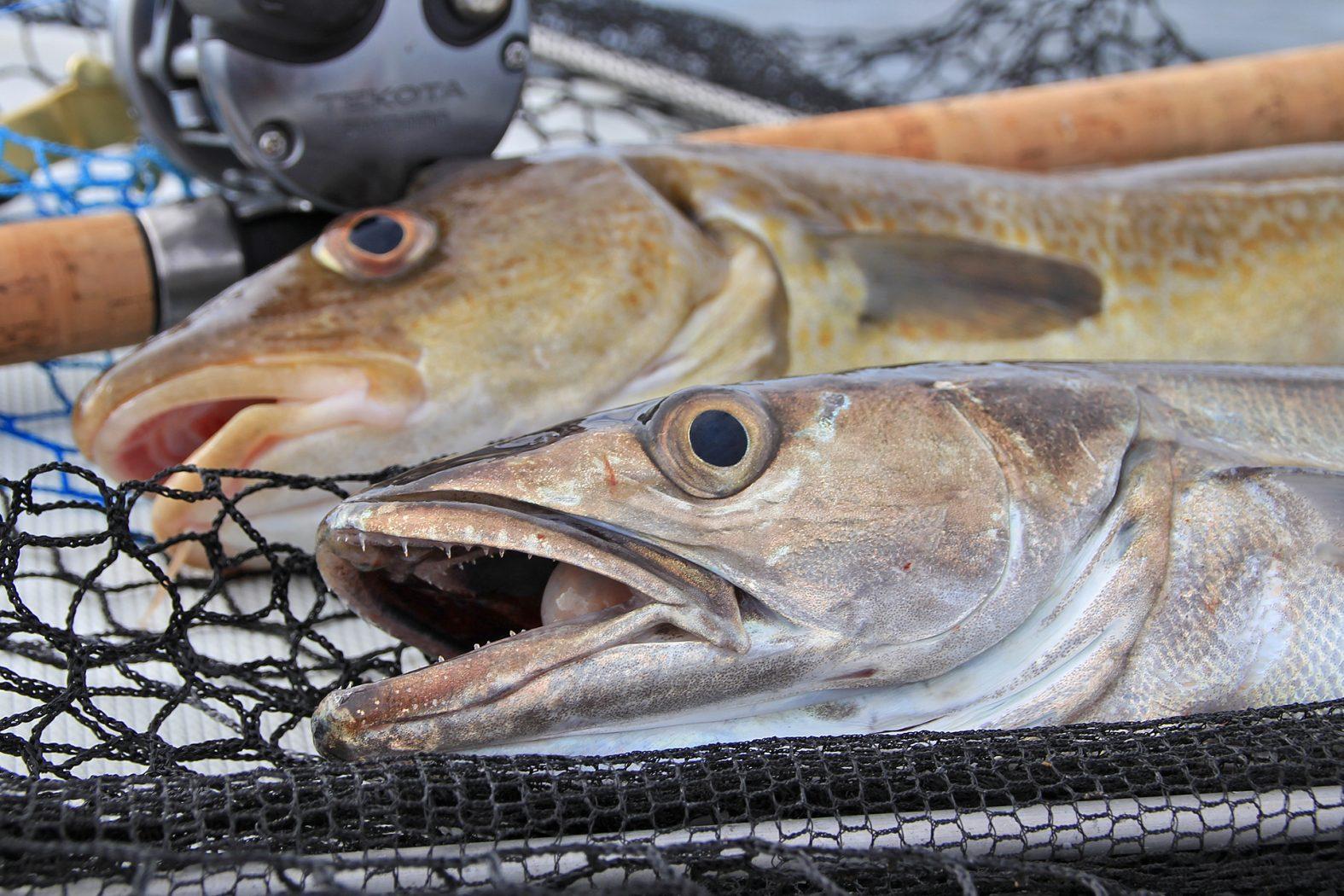 Auf Seehecht angeln in Südnorwegen