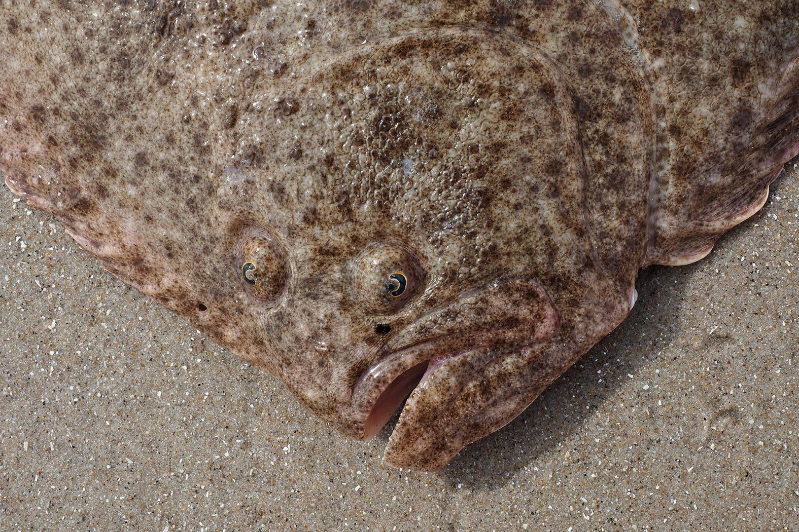 Ein besonderer Fisch: der Steinbutt