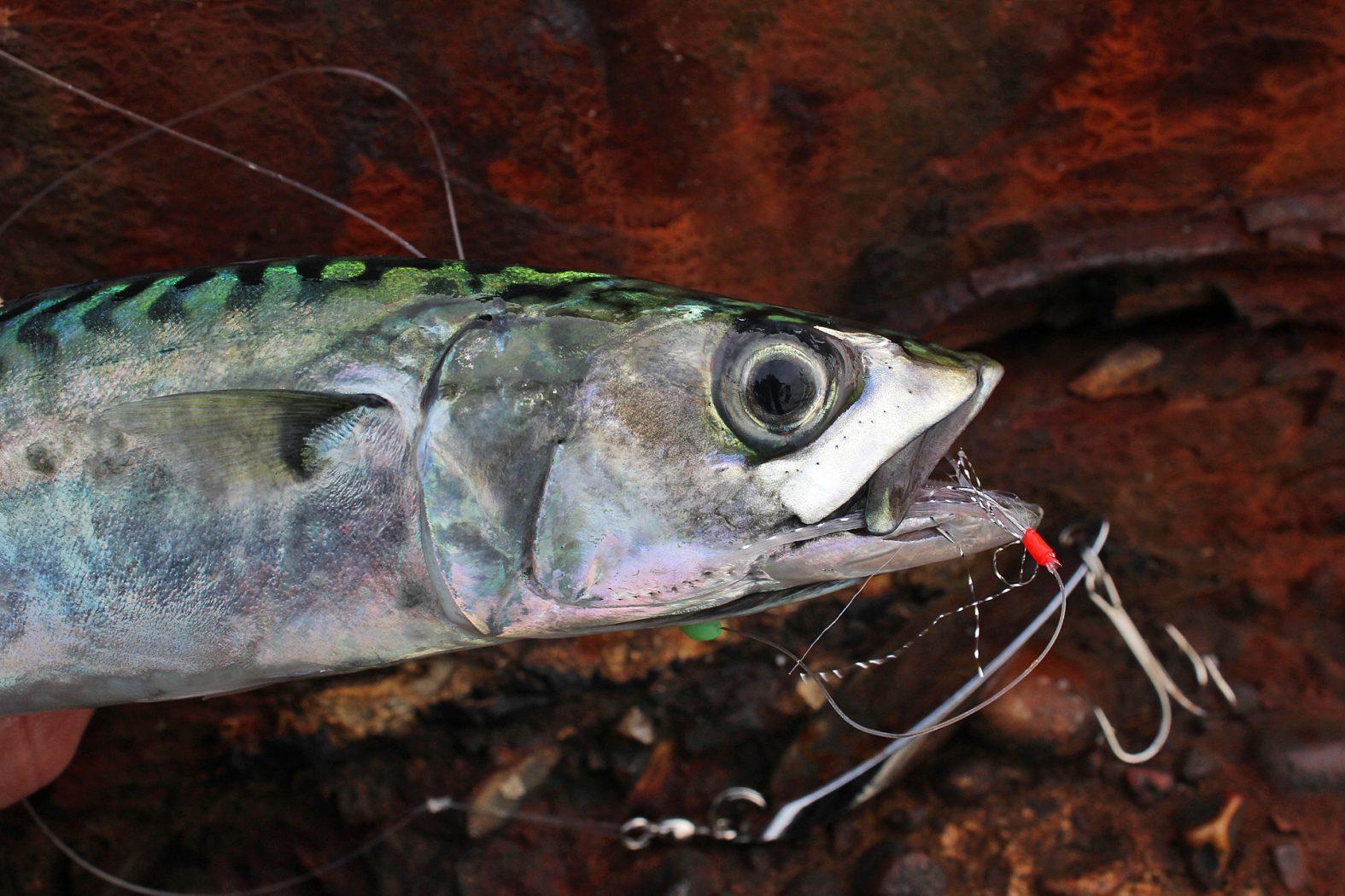 Makrelen angeln in Dänemark