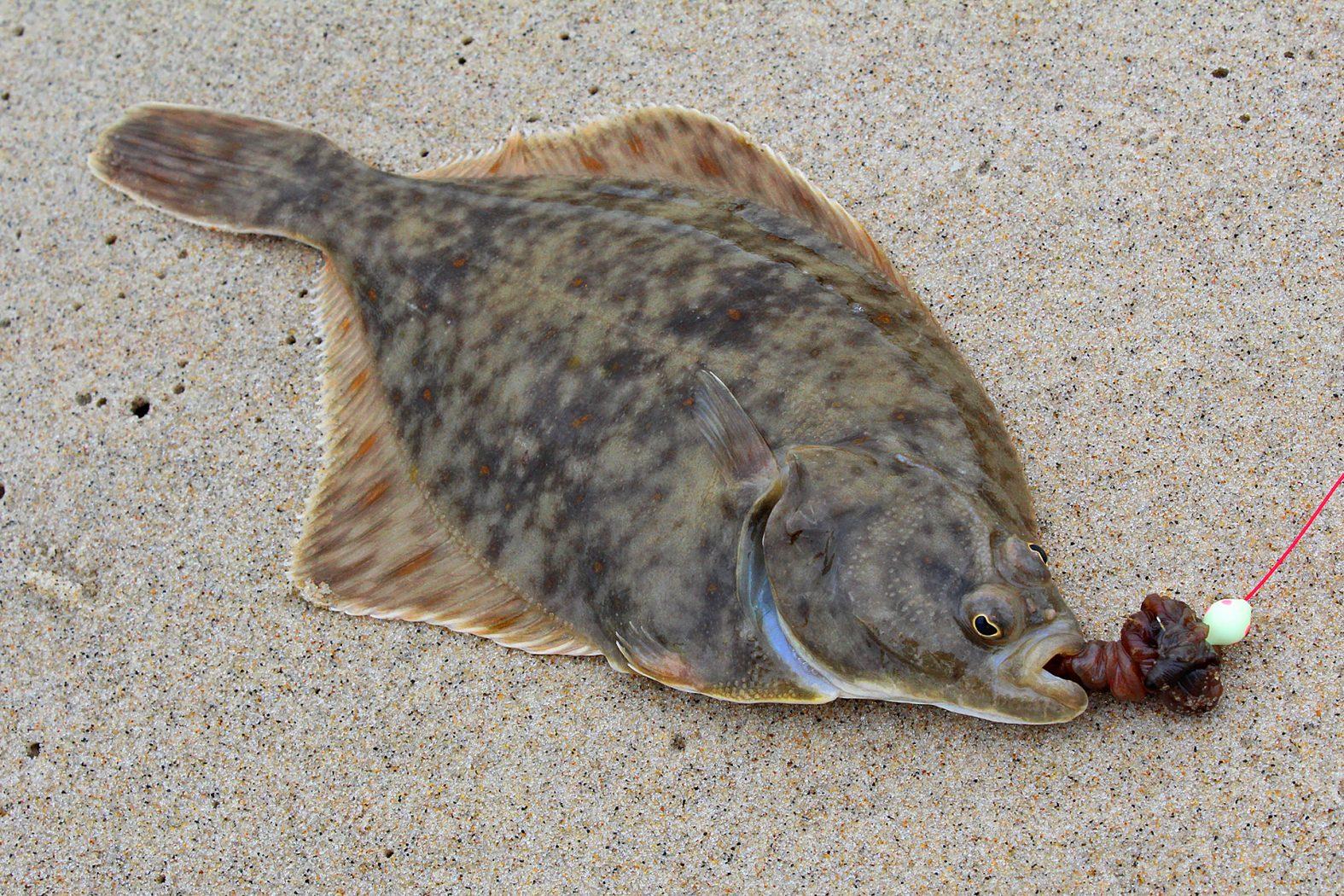 Plattfisch angeln an der Nordsee in Dänemark