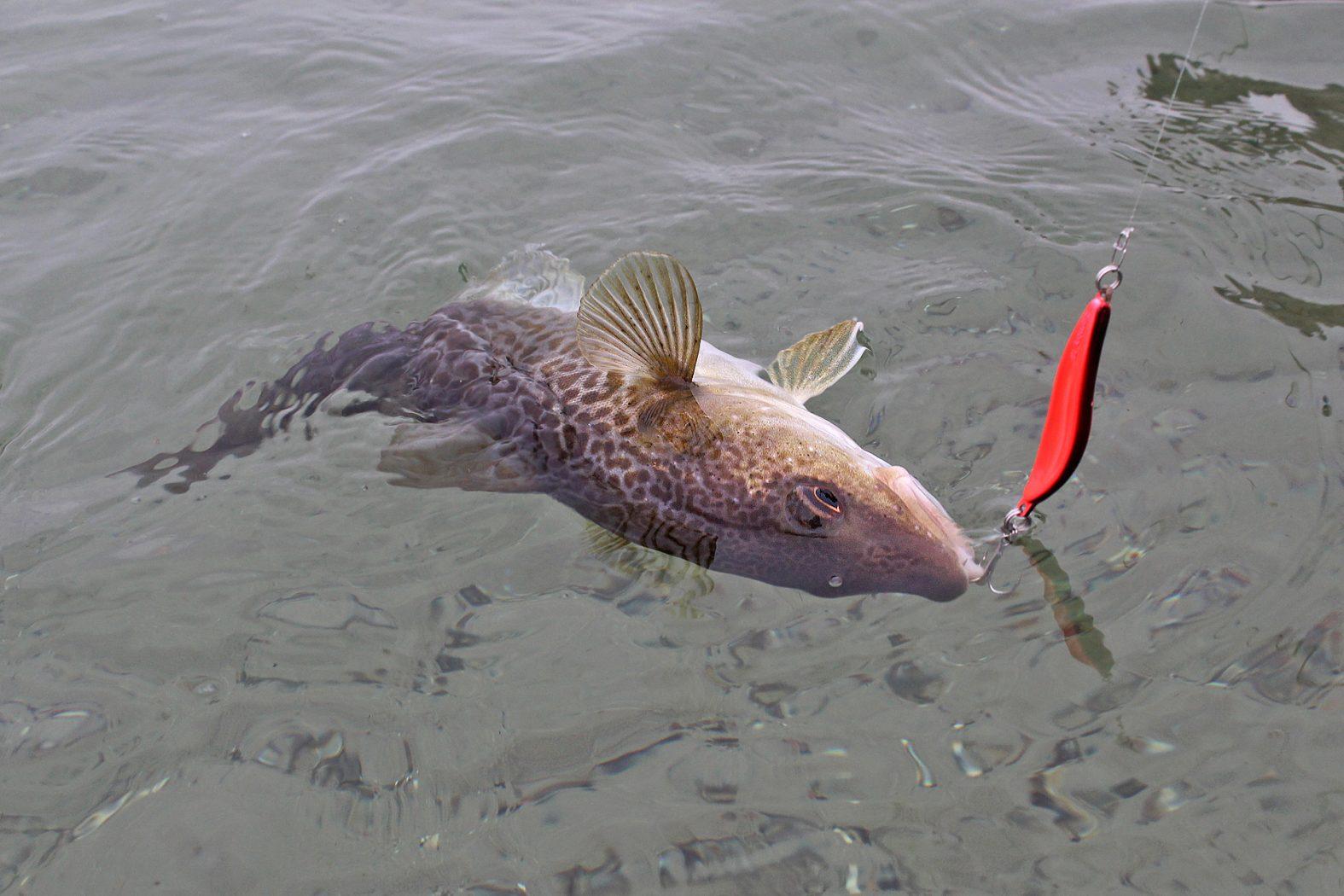 Dorsche vom Strand angeln