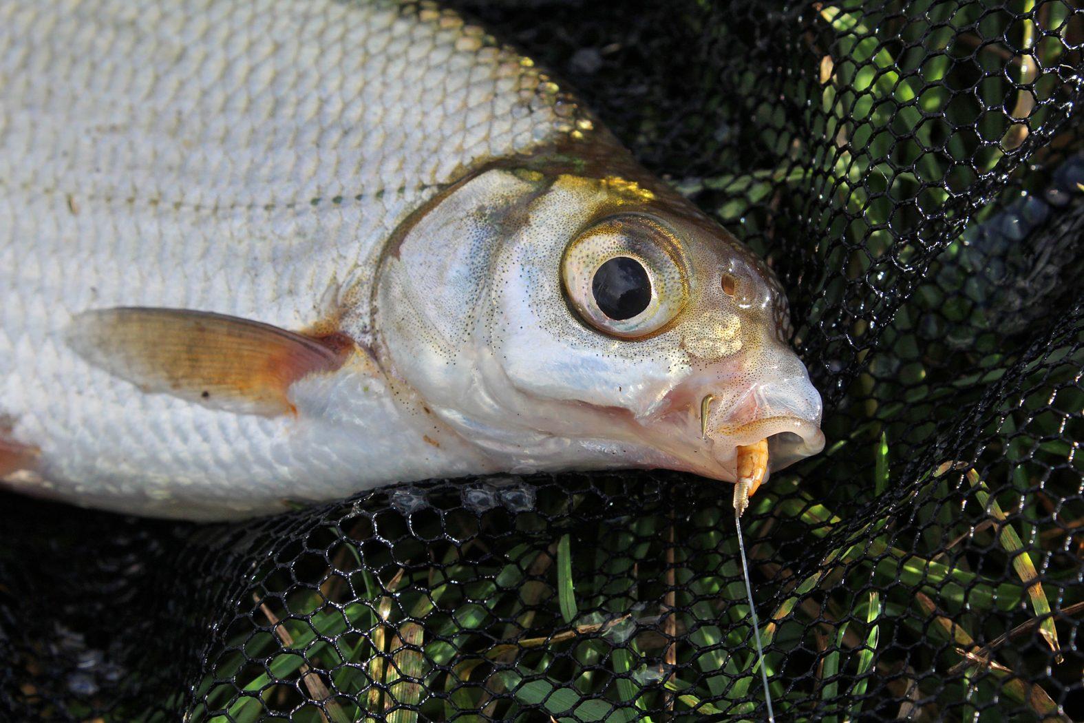 Friedfisch angeln mit Mehlwurm als Köder