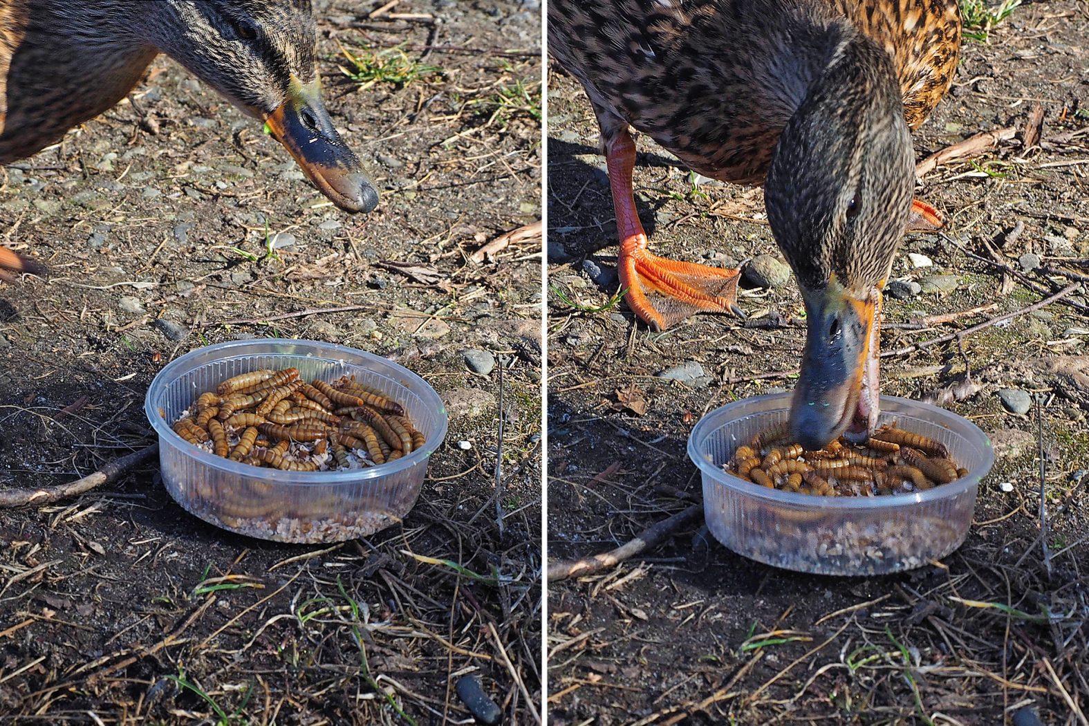 Enten fressen Mehlwürmer