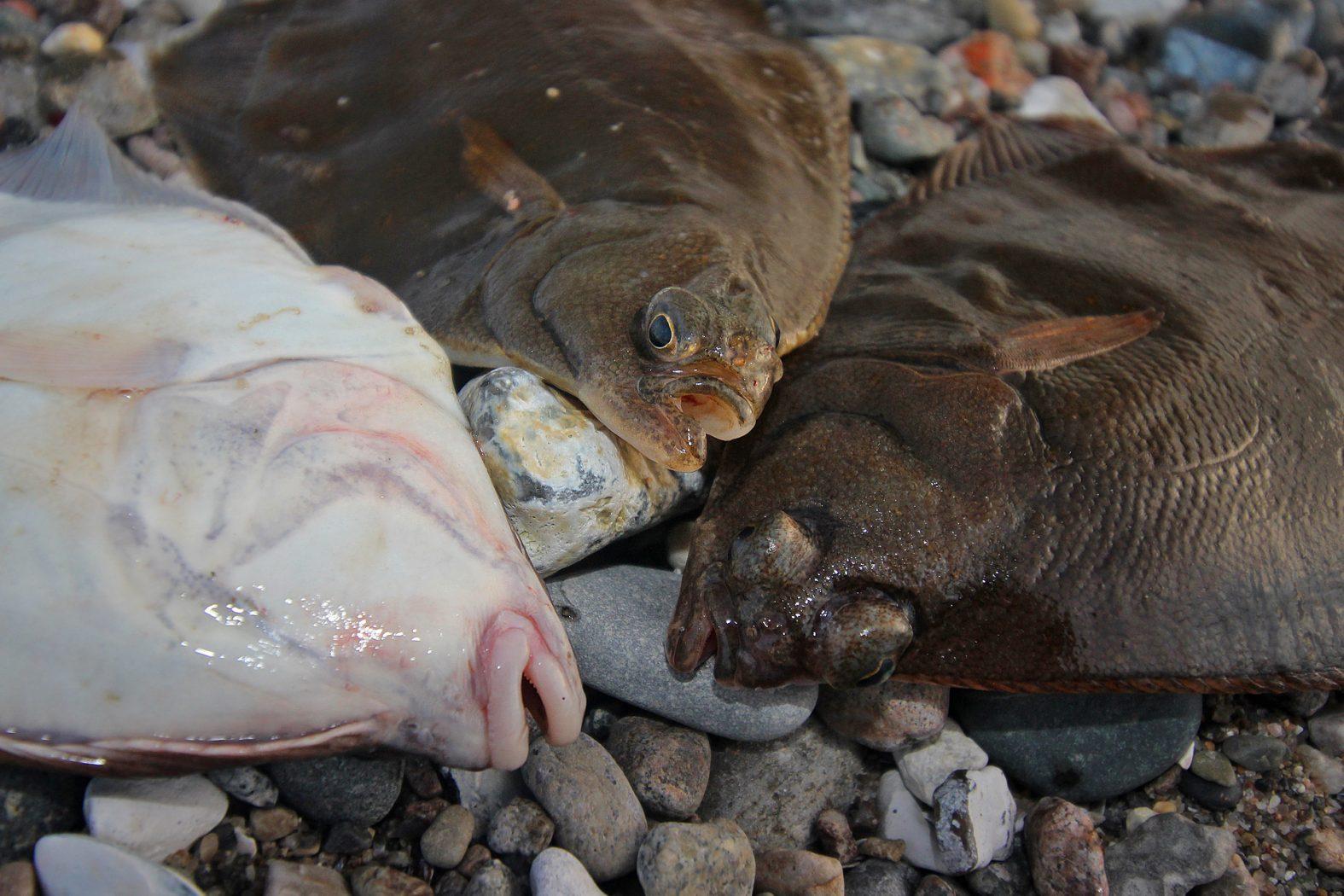 Plattfisch angeln in Dänemark im Herbst