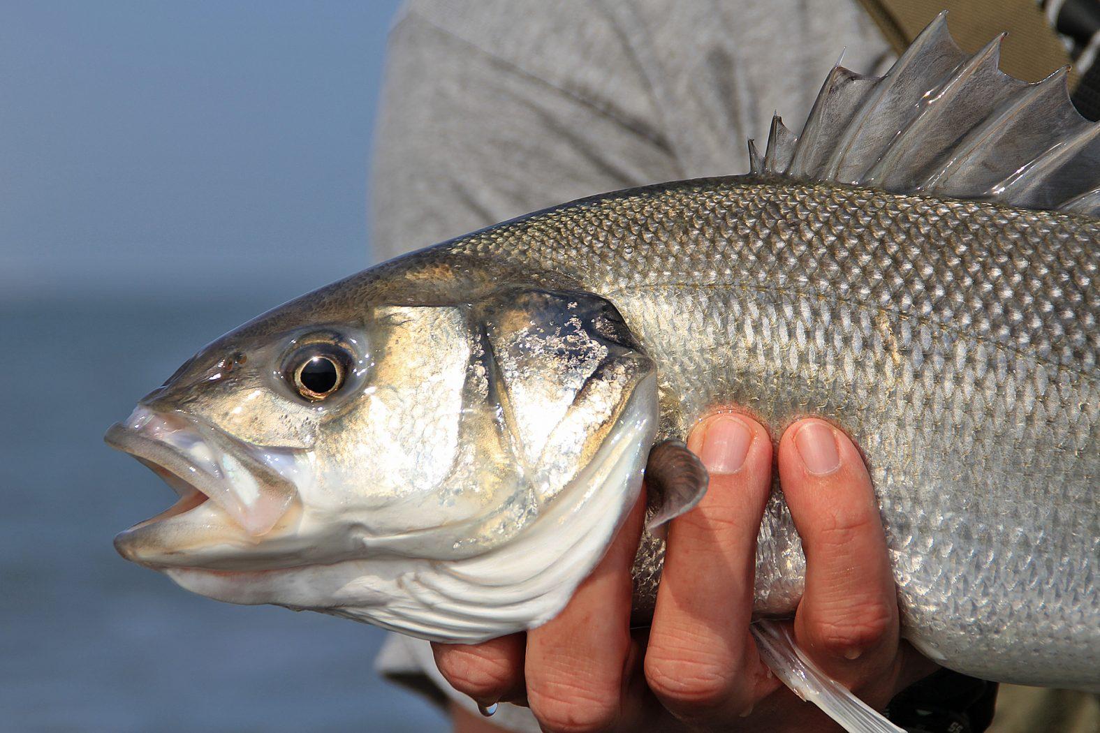 Wolfsbarsch angeln in der Nordsee in Dänemark