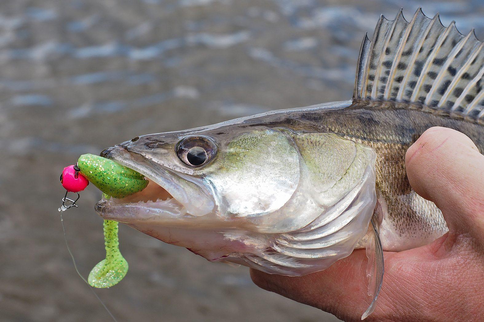 Zander angeln mit Cheburashka Jig