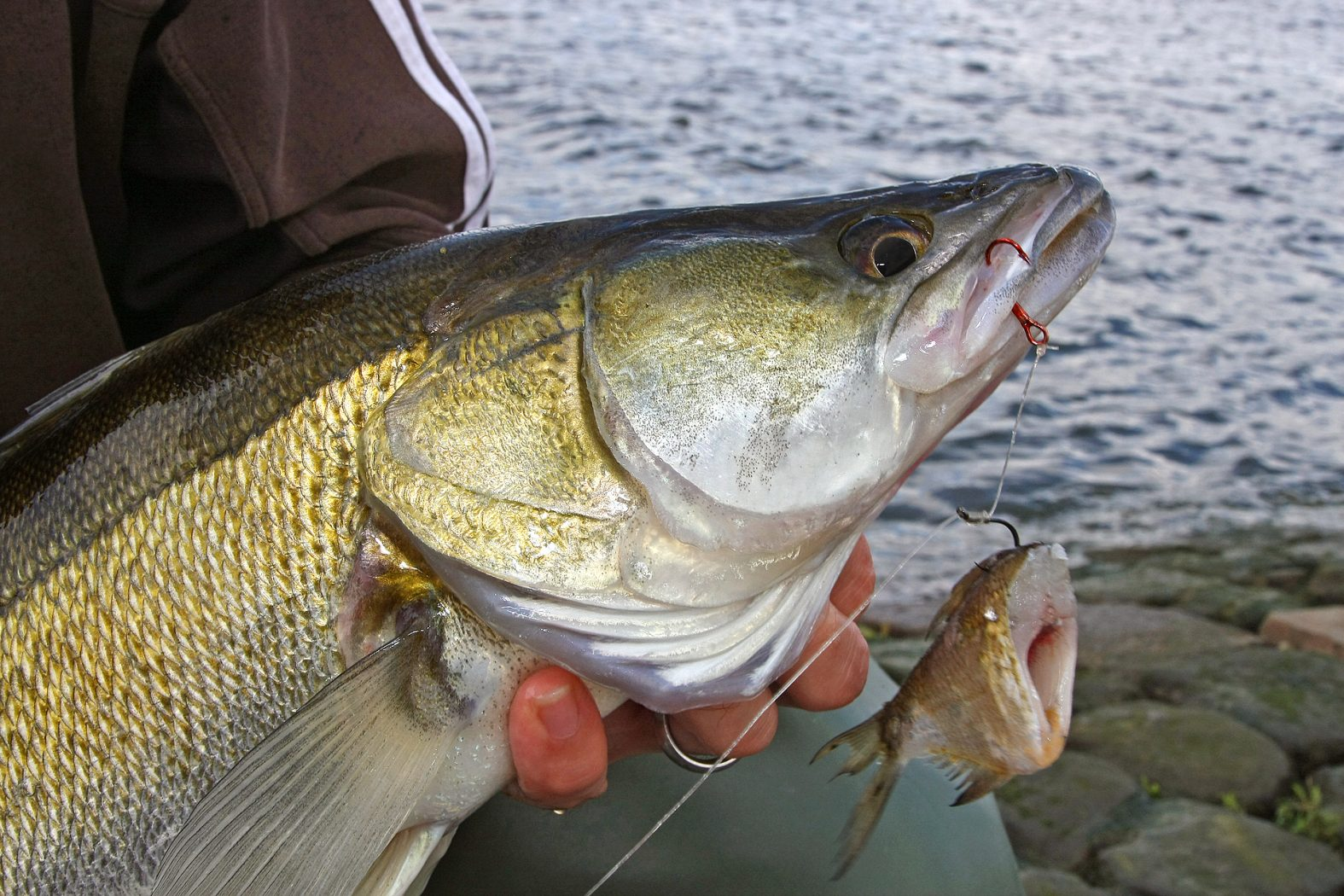 Zanderangeln mit Fischfetzen und Köderfisch