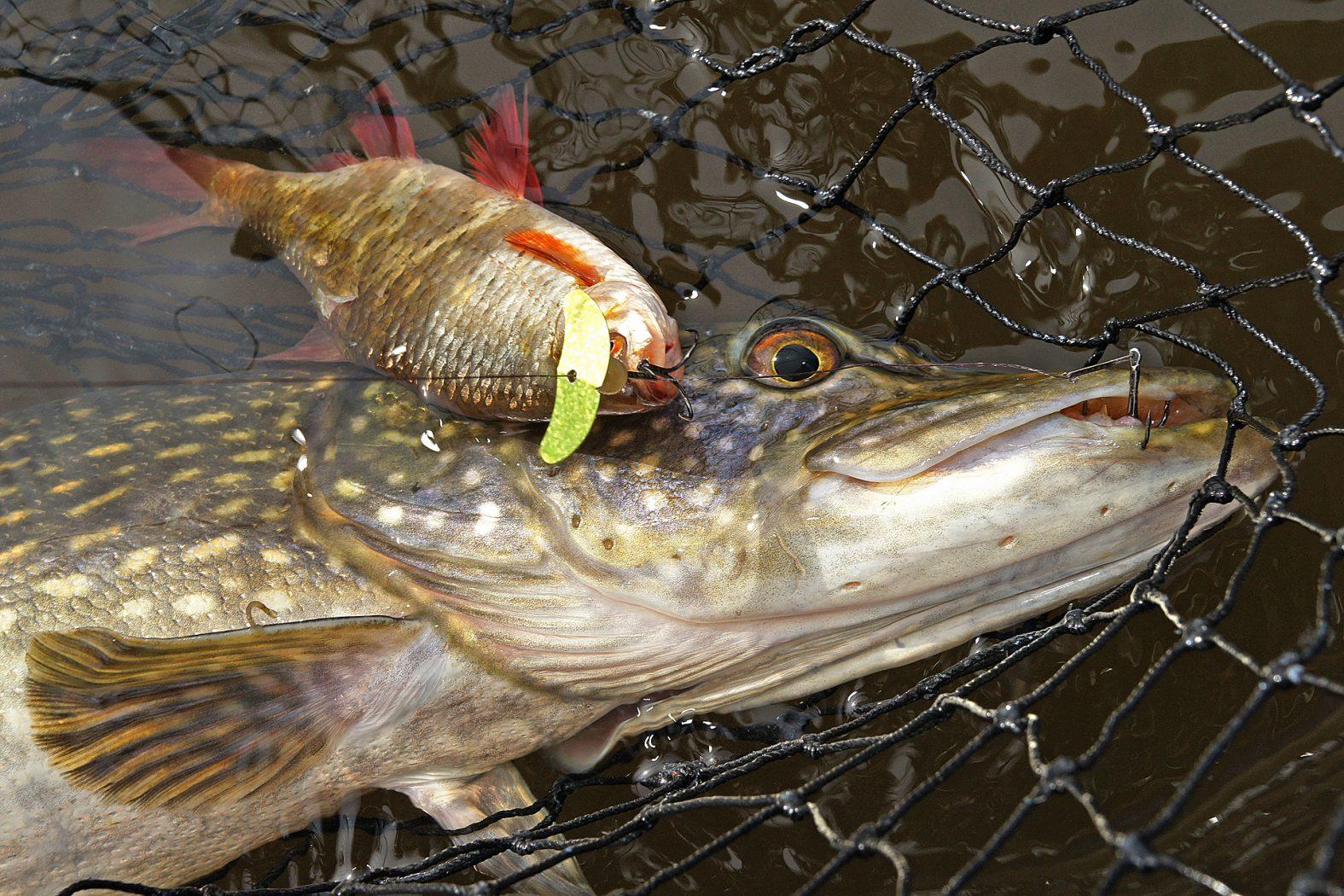 Anleitung: Köderfischvorfach zum Hechtangeln