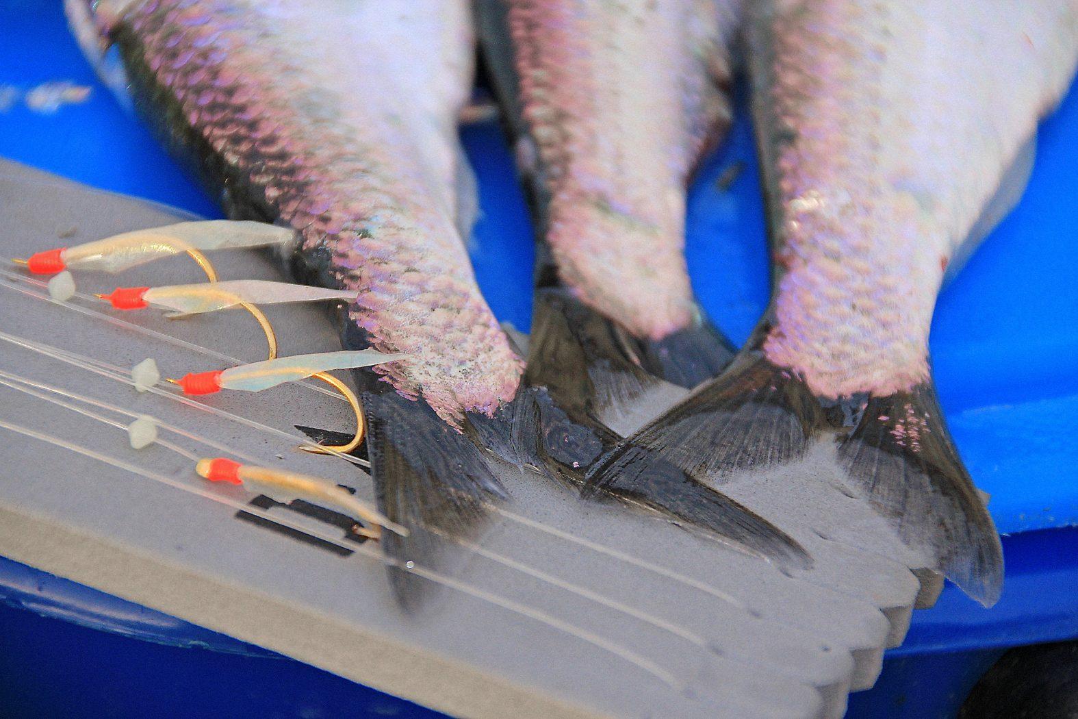 posenfischen auf hering