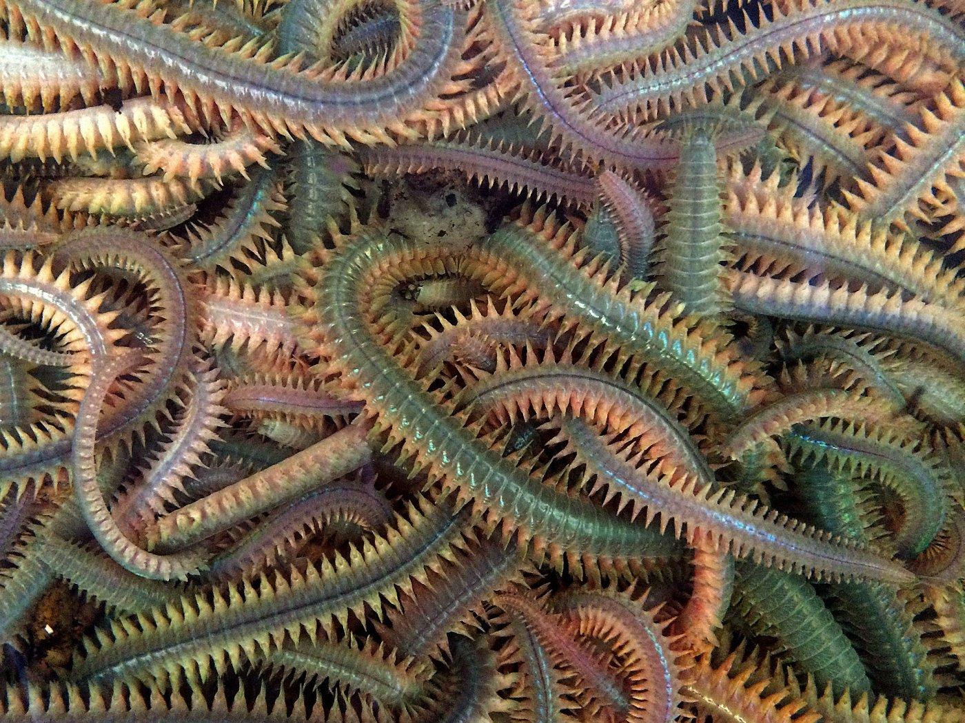 seeringelwürmer