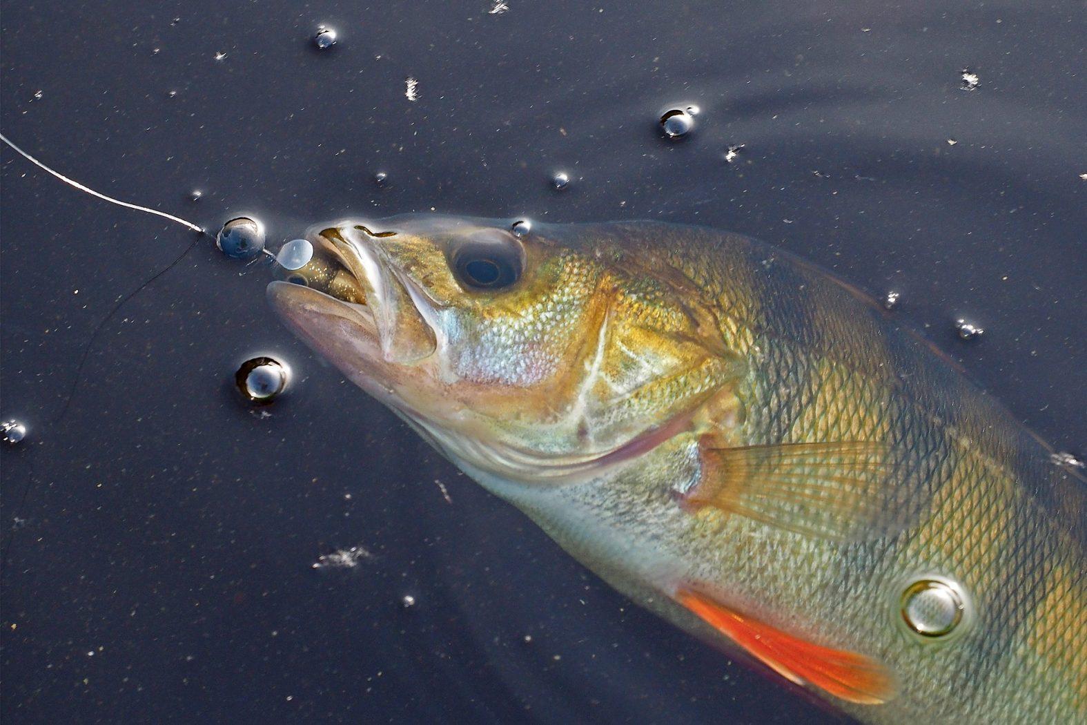 Gummifisch angeln auf Barsche
