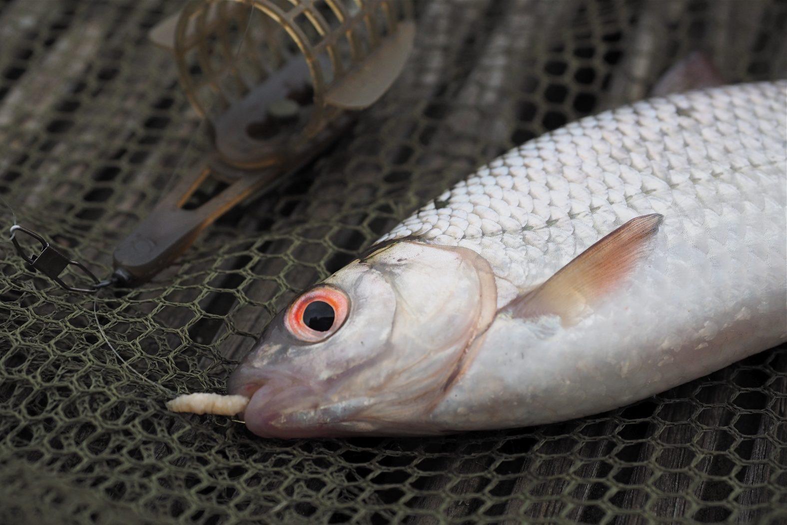 Rotaugen angeln mit Futterkorb und Feederrute