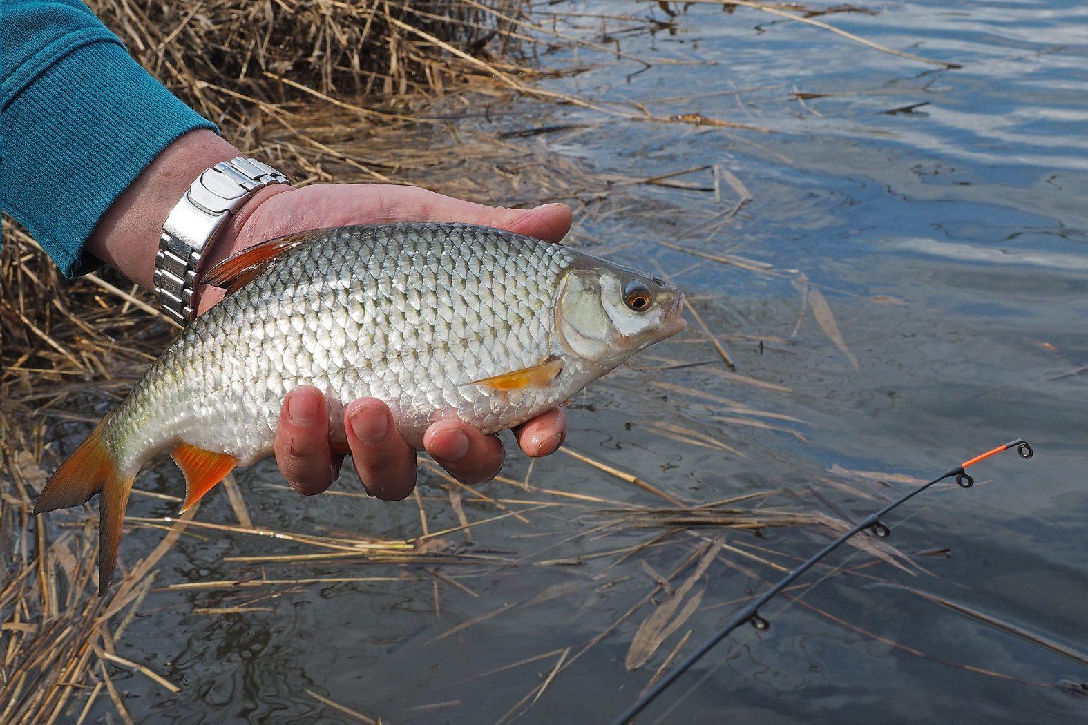 Rotaugen angeln mit Winkelpicker