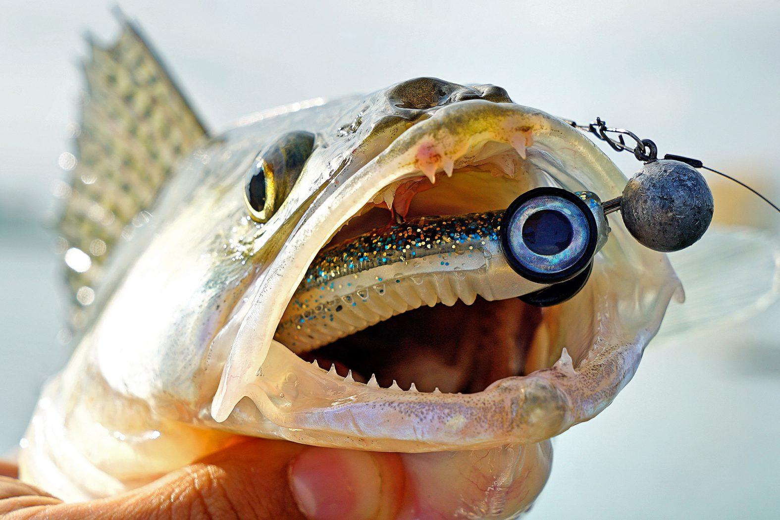 Mit Gummifisch auf Zander angeln
