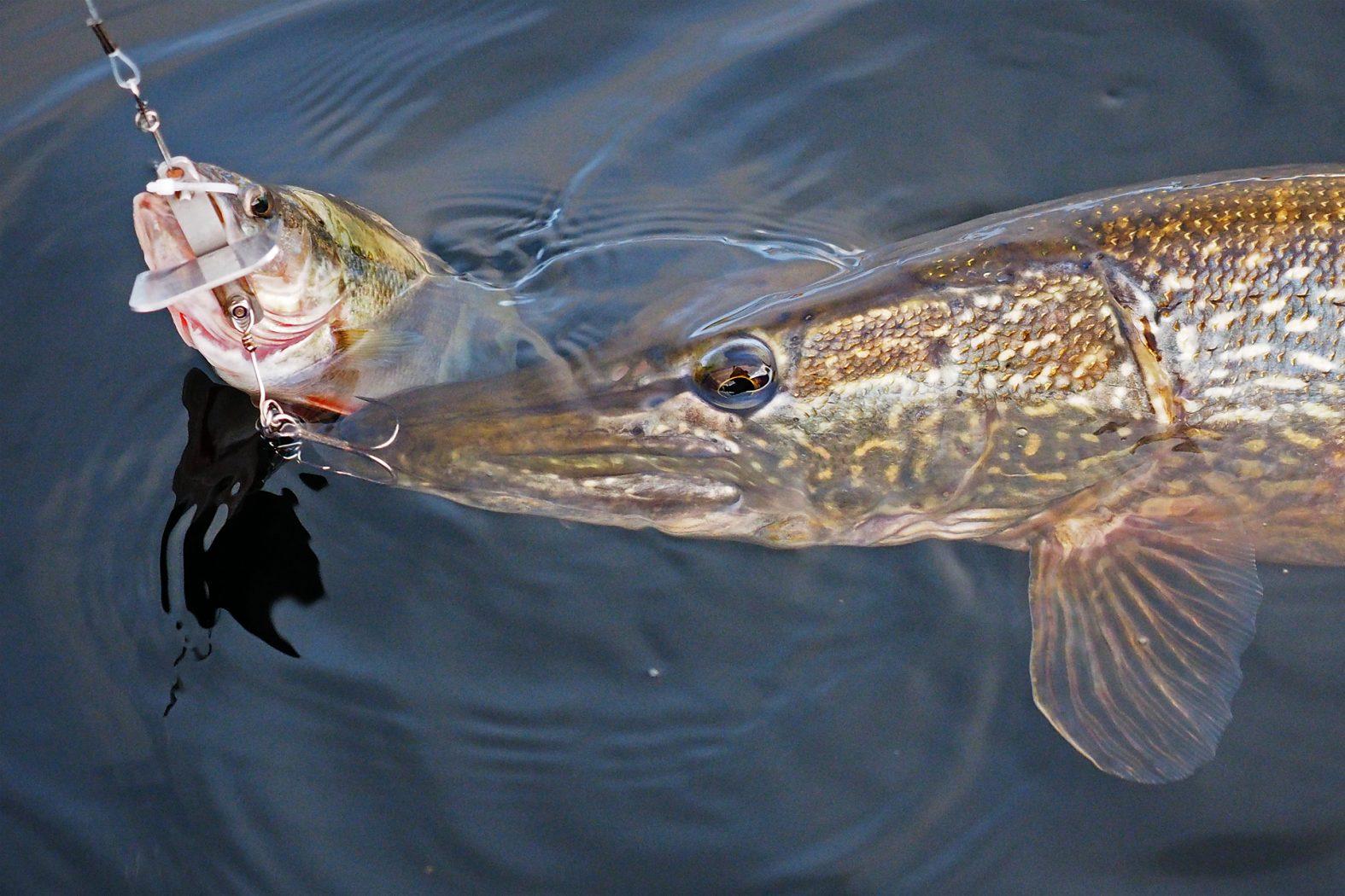 Köderfisch am ASO-Schleppsystem