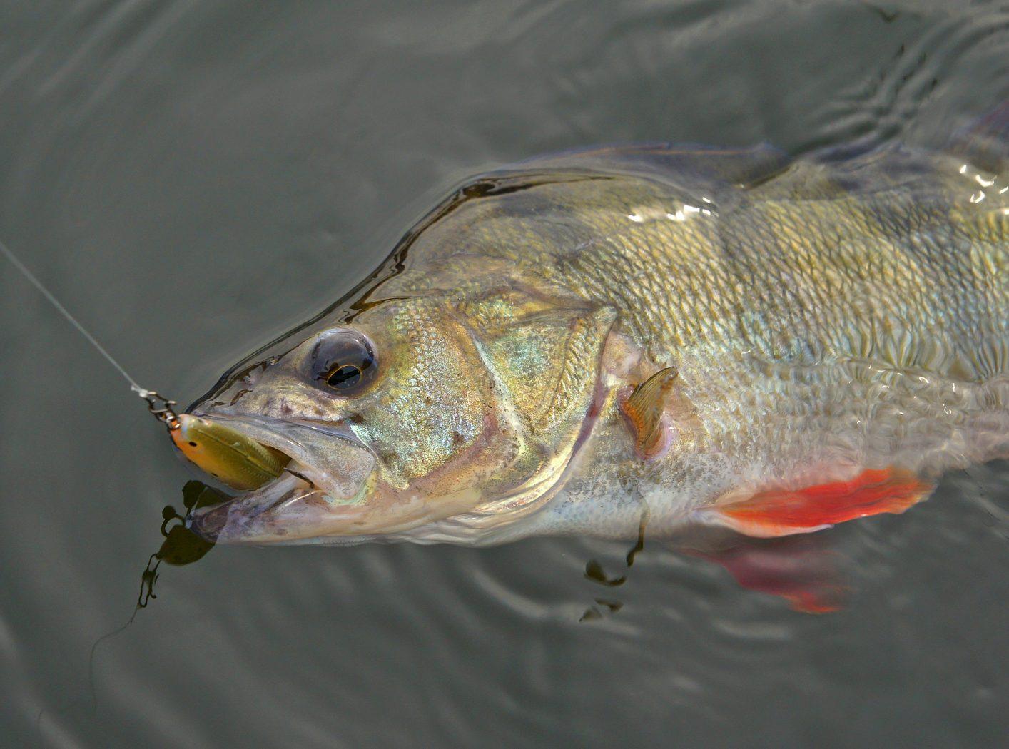 Barsch angeln mit Softjerk