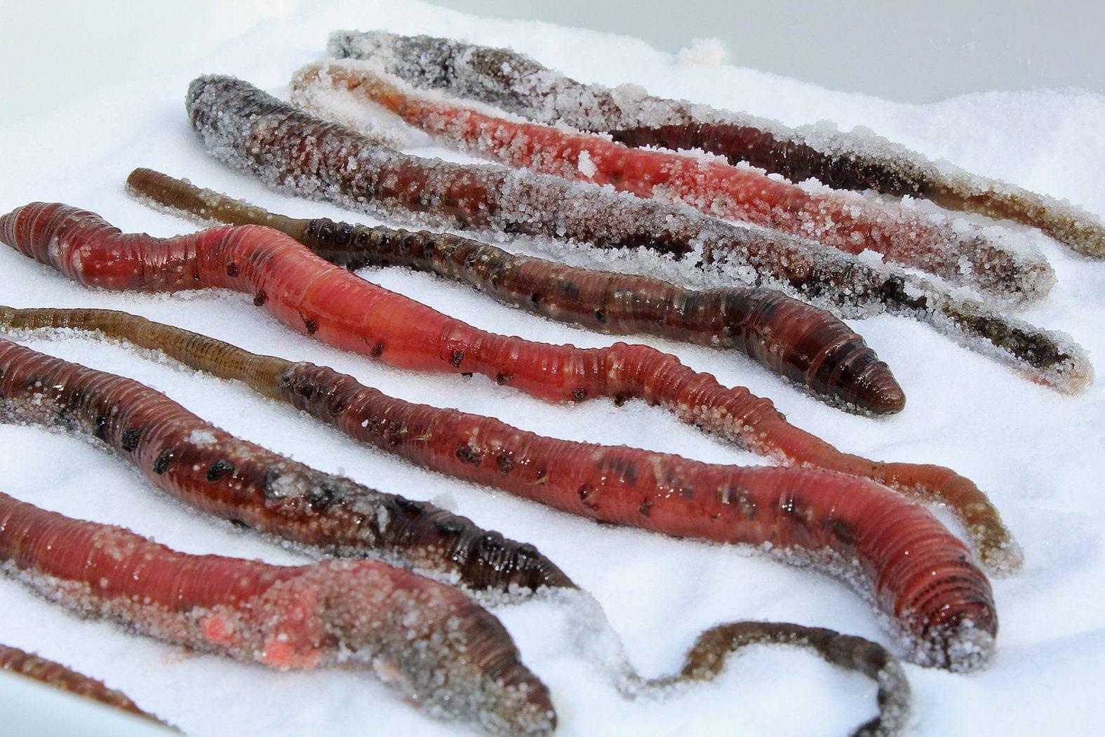 Wattwürmer konservieren durch Einsalzen
