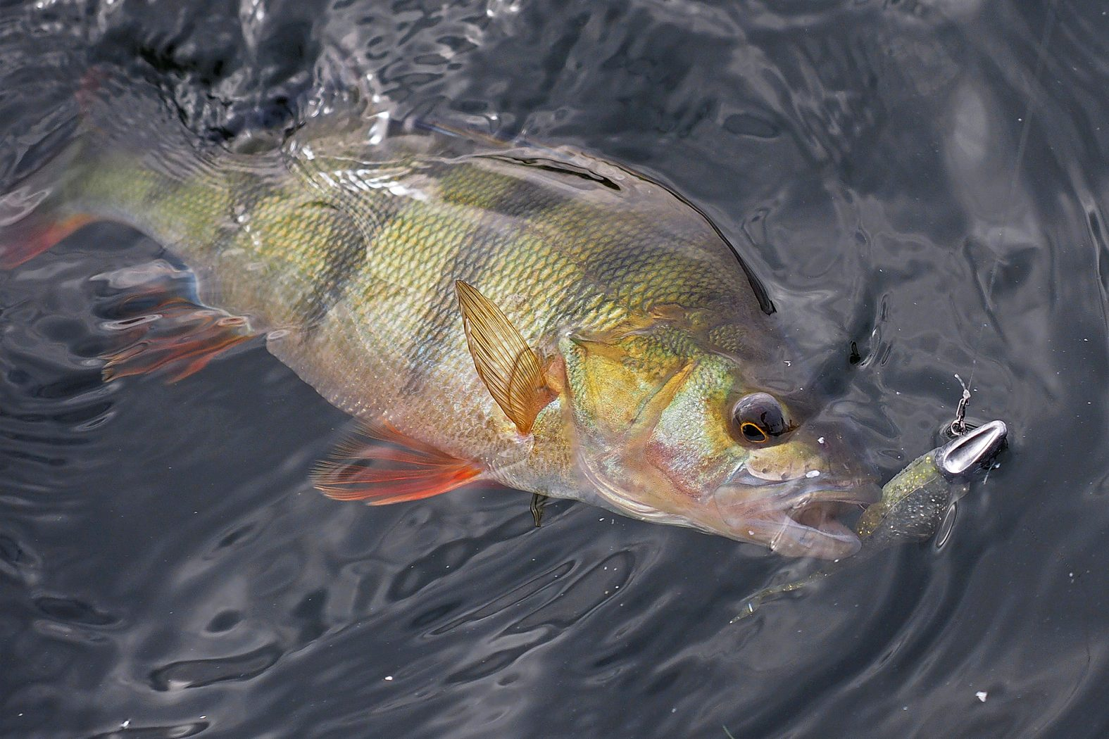 Barsch angeln mit Dart Jigkopf