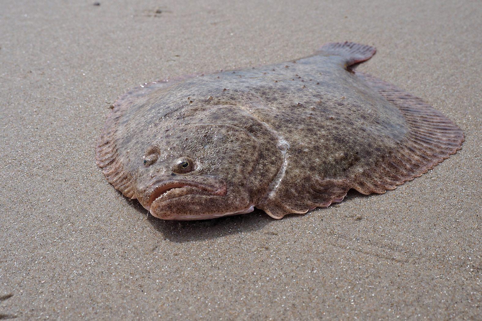 Der Steinbutt ist eine Plattfischart