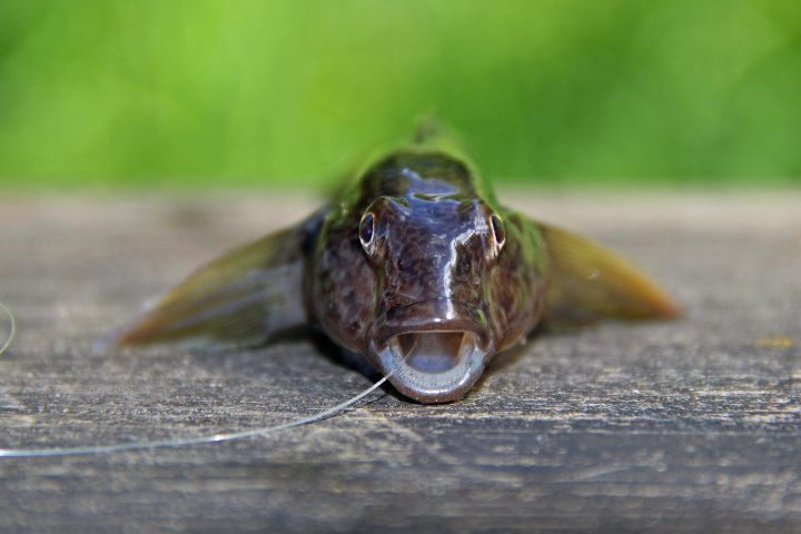 Rundfische