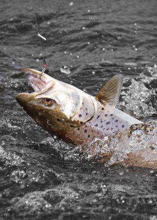 forellen angeln mit bombarda und spinner