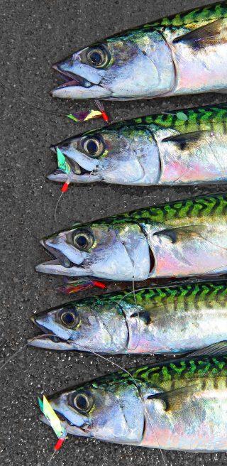 Makrelenangeln mit Paternoster vom Ufer