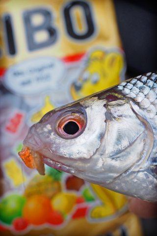 Köder für Rotaugen und andere Friedfische
