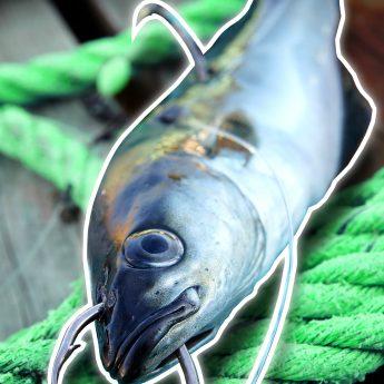 Köderfischmontage für Norwegen