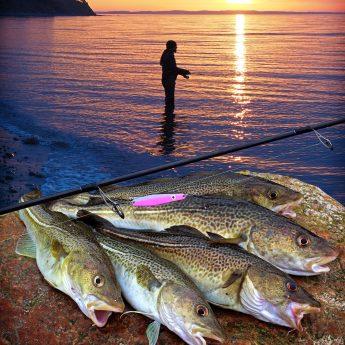 Dorsch angeln vom Ufer